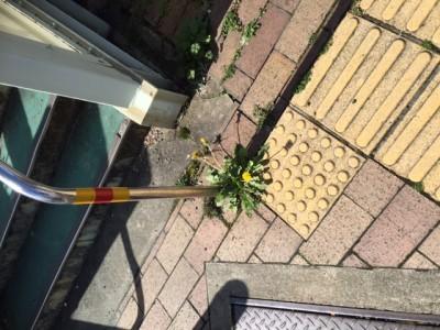路上に咲くタンポポ