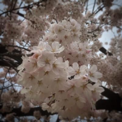 桜の写真 サクラ